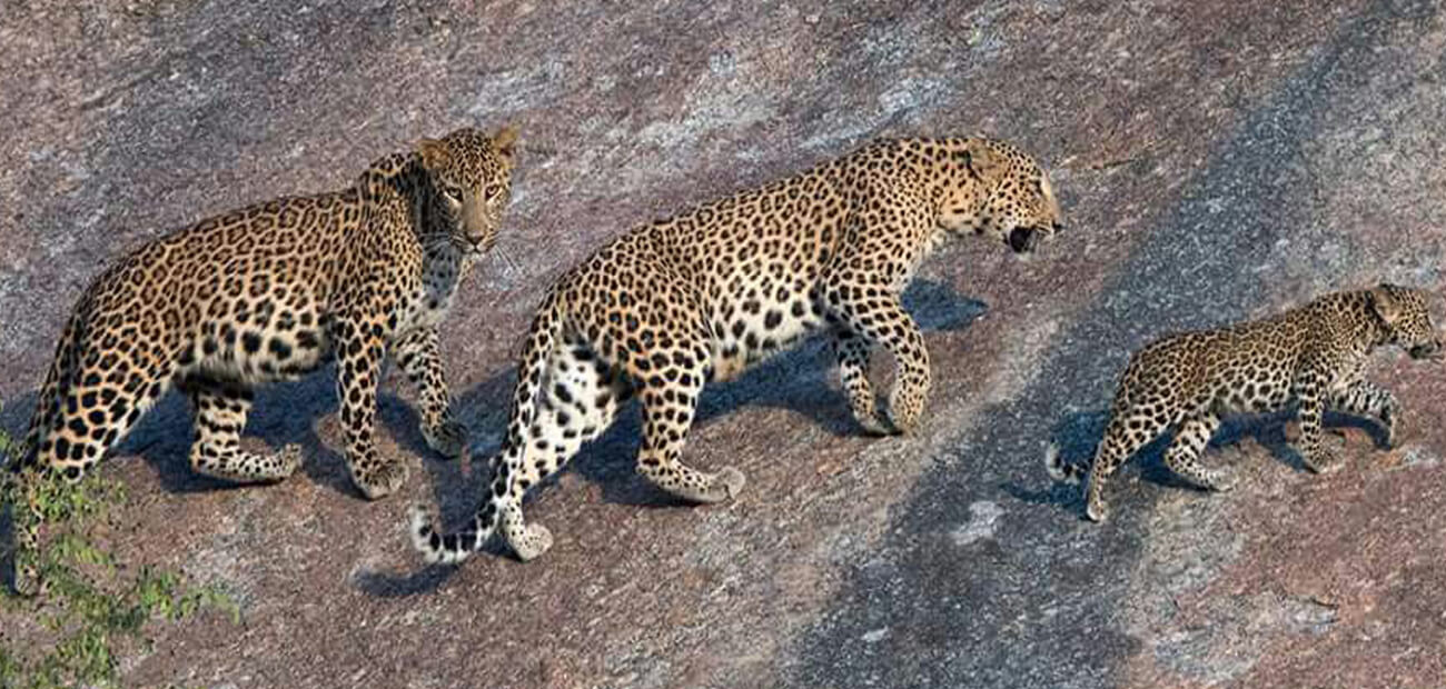 Leopard-Sighting in Narlai
